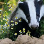 Just How to Put a STOP to Badgers Digging Up the Lawn of Your Dreams?