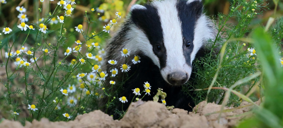 Just How to Put a STOP to Badgers Digging Up the Lawn of