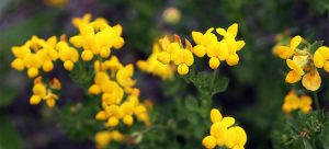 Lesser yellow trefoil