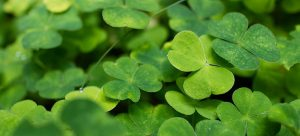 clovers in the lawn