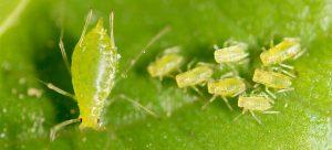 aphids parasites