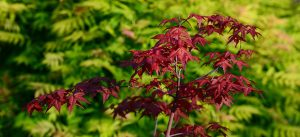 potted acer tree problems