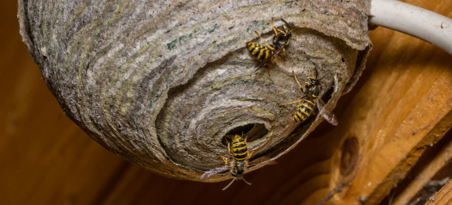 How to Get Rid of a Wasp Nest