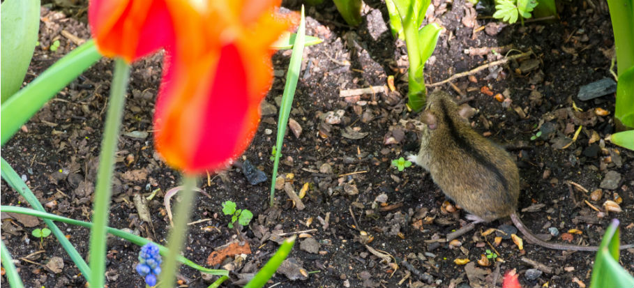 How to Get Rid of Rats and Mice in The Garden