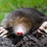 mole in garden
