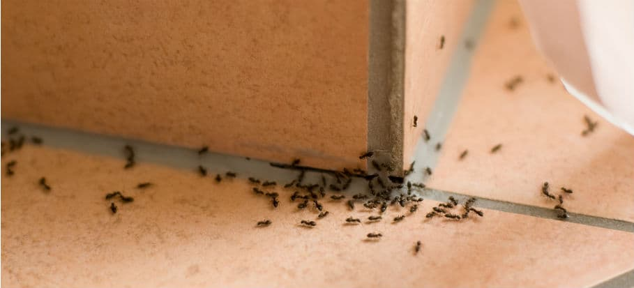 How to get rid of bugs - ants