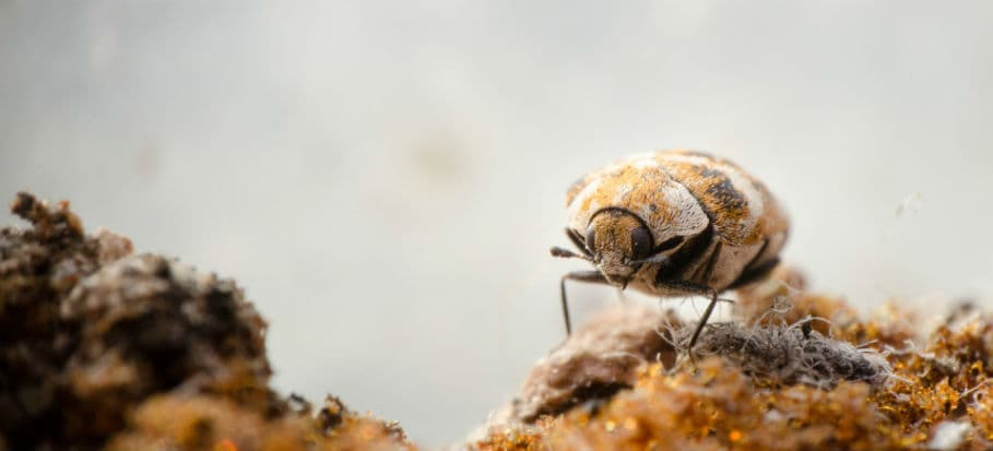 How to get rid of bugs - carpet beetles
