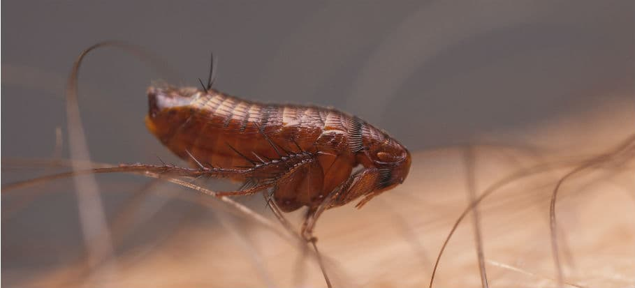 How to get rid of bugs - fleas