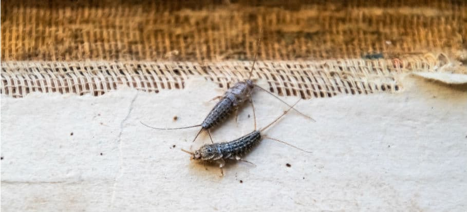How to get rid of bugs - silverfish