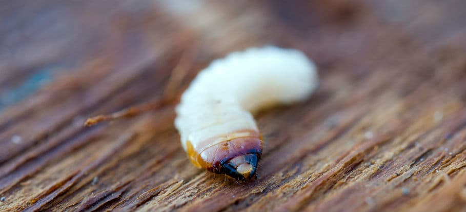 How to get rid of bugs - woodworm
