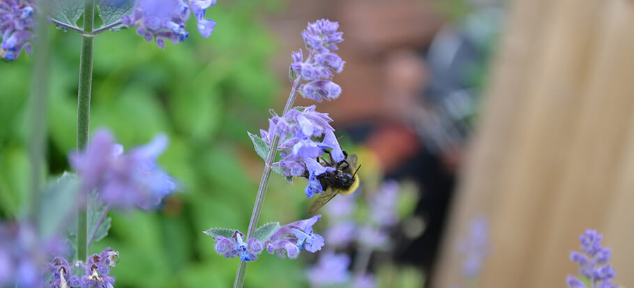 Catmint-flower-long-flowering-plant