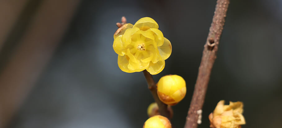 Chimonanthus-long-flowering-plant