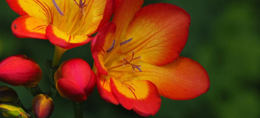 Freesia-long-flowering-perennial