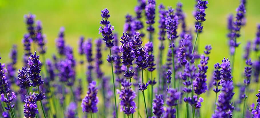 Lavender-long-flowering-perennial