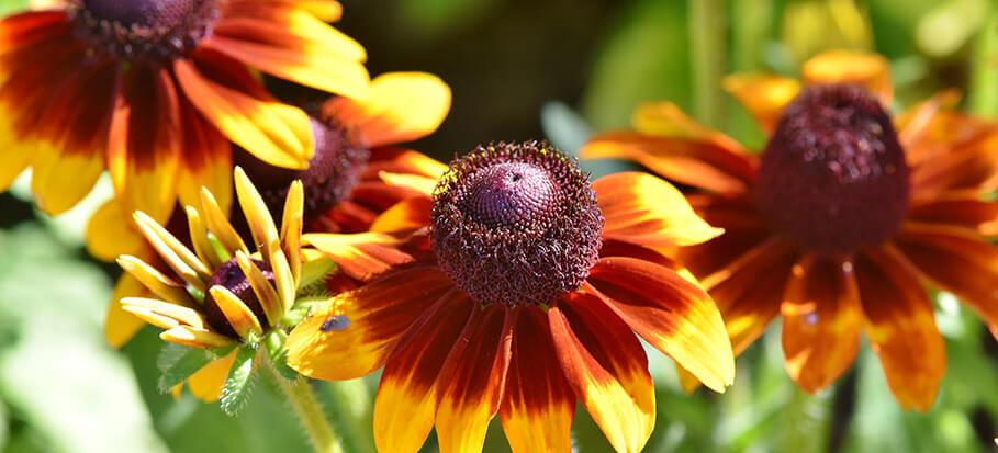 coneflower-long-flowering-plant