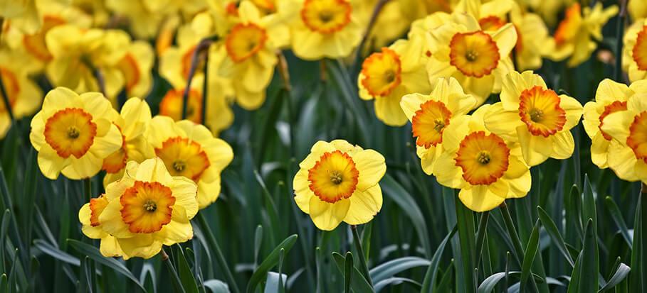 daffodil-long-flowering