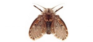drain fly on white background