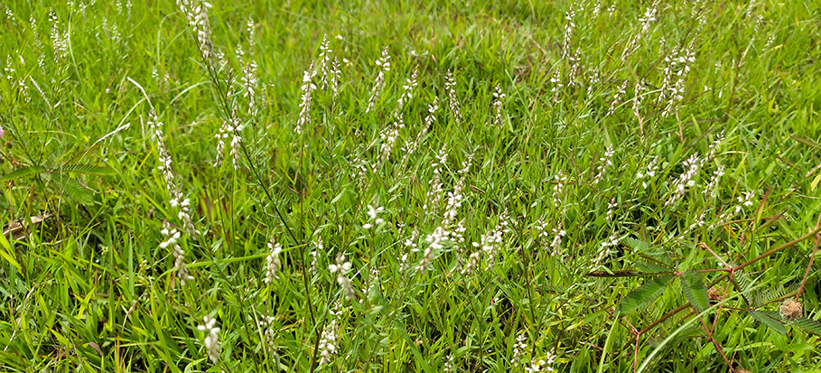 coarse grass in lawn