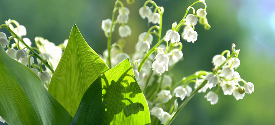 lillies-of-the-valley-long-flowering-perennial