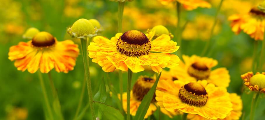 sneezeweed-flower-long-flowering