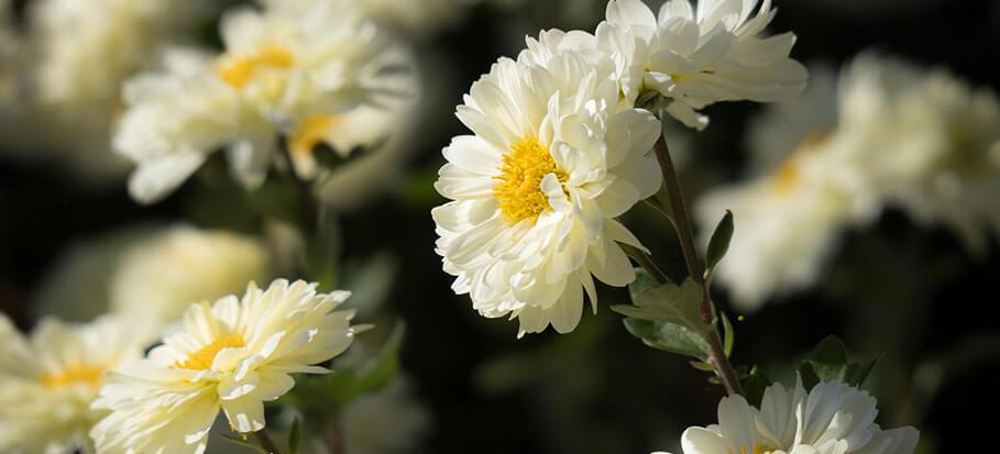 winter-aster-long-flowering-perennials