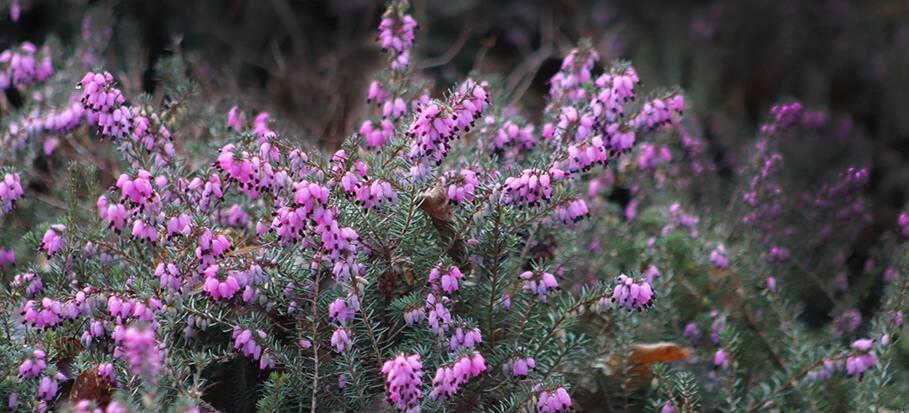winter-heath-long-flowering-plant