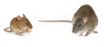 Difference Between Rat And Mouse