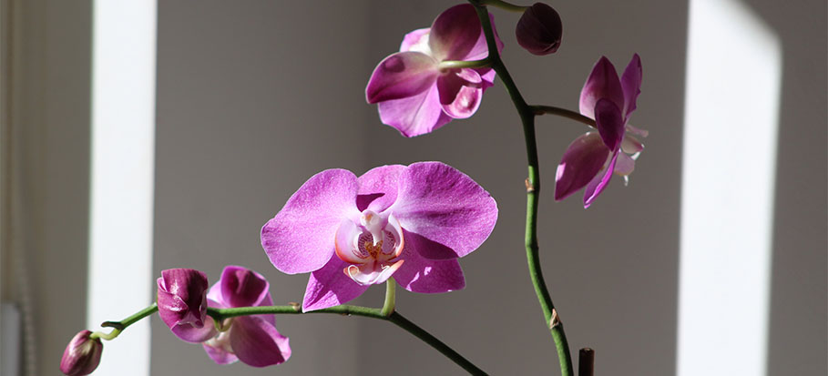 Caring for your orchids indoors