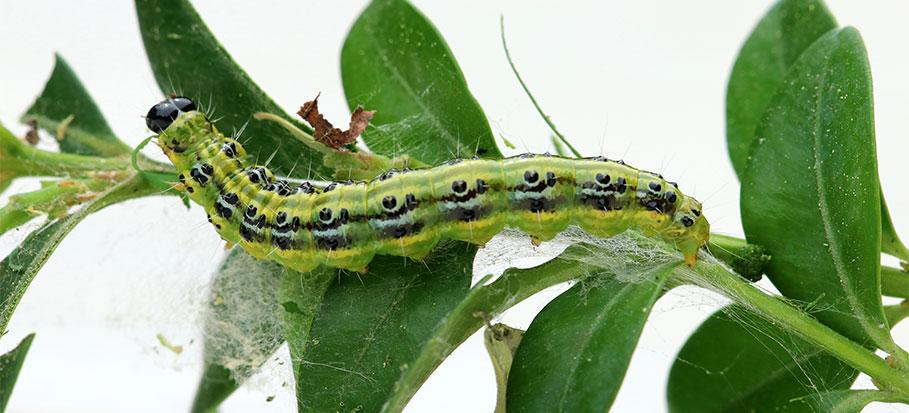 Box tree caterpillar damage