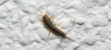 How to Get Rid of Silverfish in Drains