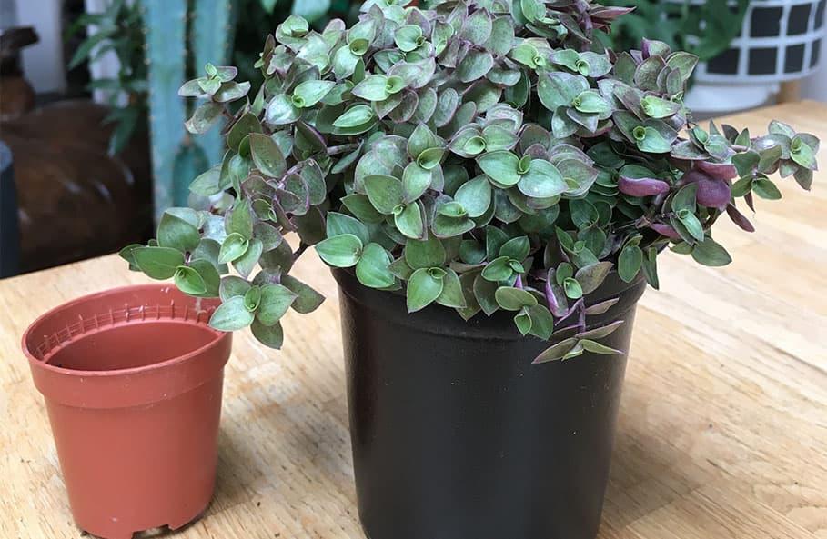 plant in bigger pot