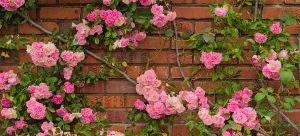 climbing roses on brick wall