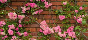 climbing roses on brick wall