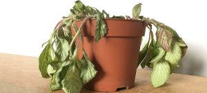 dying houseplant in a pot