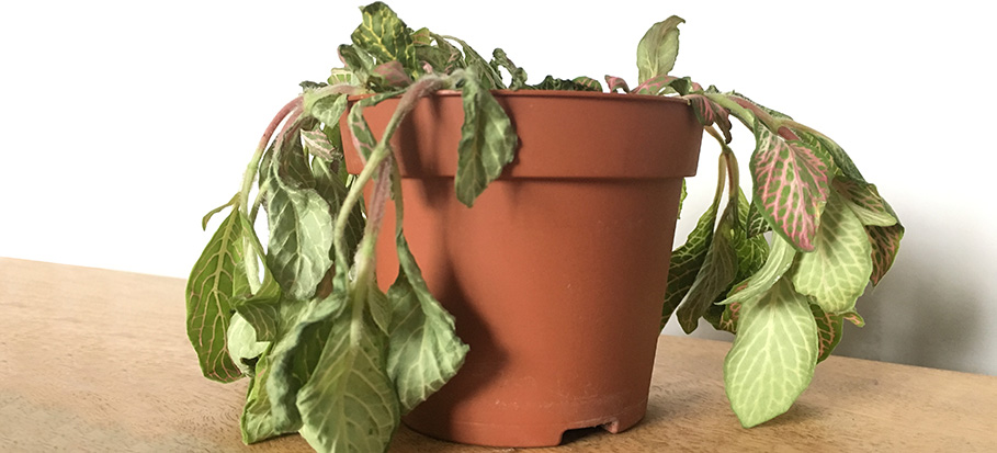dying houseplant in pot