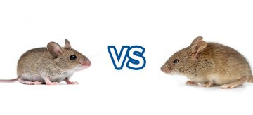 house mouse vs field mouse