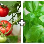 companion planting tomato and basil