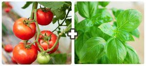 companion planting tomato and basil