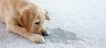 dog next to a stain on carpet