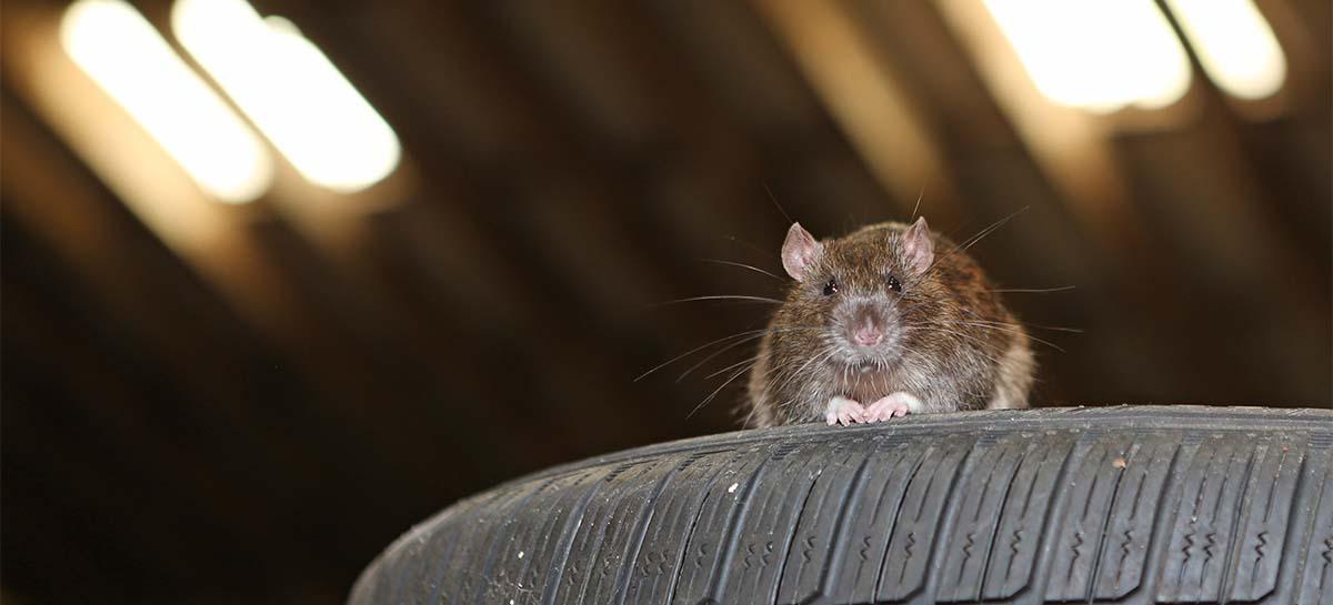 rat on car tire
