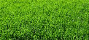thick green lawn