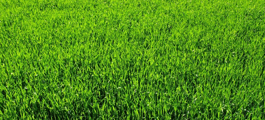 green thick lawn