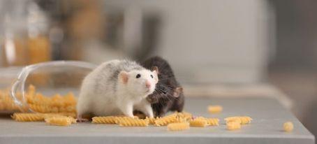 white and black rat