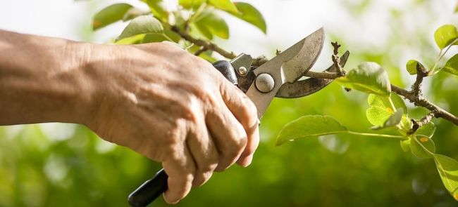 pruning trees and shrubs the correct way