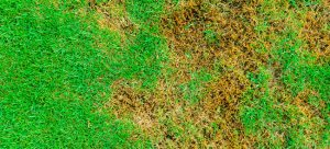 lawn diseases uk