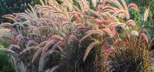 fountain grass bushes