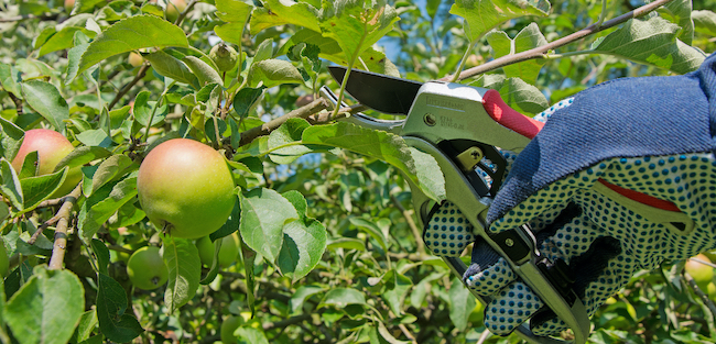 how to prune fruit trees correctly