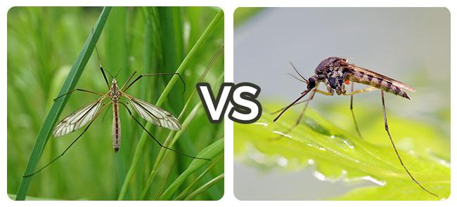 Crane Fly vs. Mosquito image
