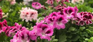 self-seeding plant geranium