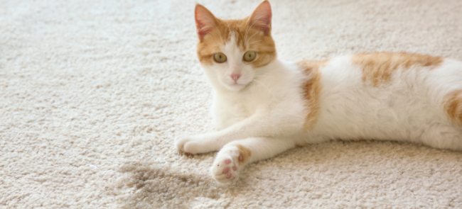 Cat laying on carpet next to urine stain